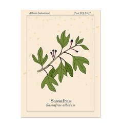 Sassafras albidum medicinal plant vector
