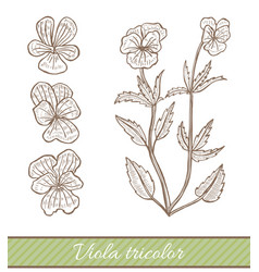 Viola tricolor in hand drawn style vector