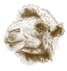 Engraving drawing of camel head vector