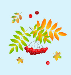 rowan berry on blue background vector image