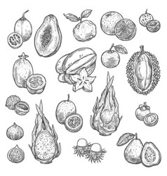Exotic tropical fruits isolated sketches vector