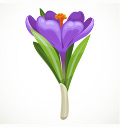 Beautiful purple crocus flowering isolated on a vector