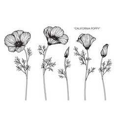 california poppy flower drawing vector image