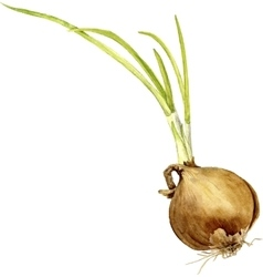 watercolor onion with green leaves vector image