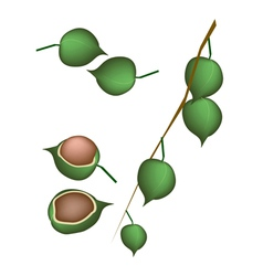 Fresh Ripe Macadamia Nuts on A Branch vector