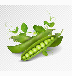 Green peas photo-realistic pods of vector