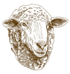 engraving drawing of sheep head vector image