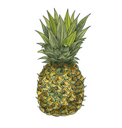 pineapple full color sketch vector image