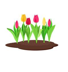 tulips growing in flowerbed vector image
