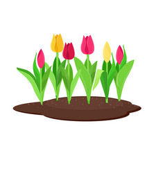 tulips growing in the flowerbed vector image