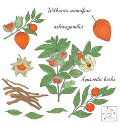 Ashwagandha plant 2 vector