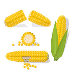 set swert golden corn cobs and grains isolated vector image