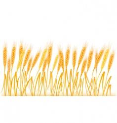 wheat ears on field vector image