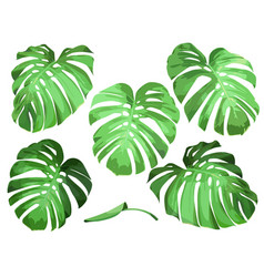 Leaves of monstera vector