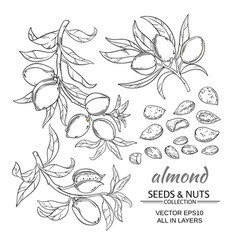 almond set vector image