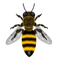 macro drawing a bee with transparent wings vector image