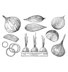 Onion hand drawn sketch isolated set on white vector