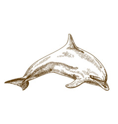 Engraving drawing of jumping dolphin vector