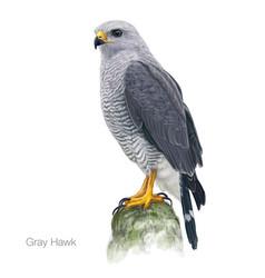 Gray hawk vector