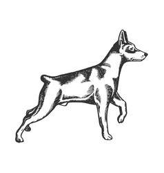 Pinscher dog animal engraving vector