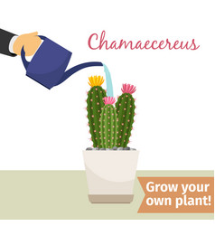 hand watering chamaecereus plant vector image