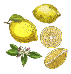 Lemon with leaf half of the fruit flower vector