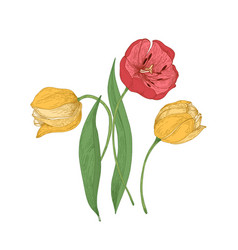 Gorgeous tulip flowers isolated on white vector