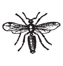 Male ash black ant vintage vector