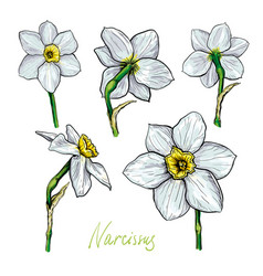 set of flowers narcissus vector image