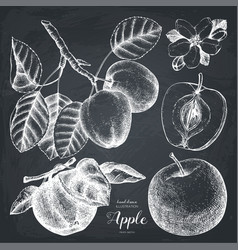 vintage set of apple sketch vector image