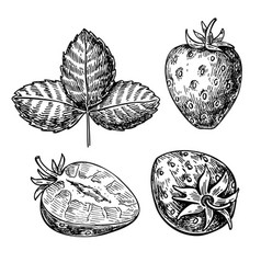 strawberry drawing set isolated hand drawn vector image vector image