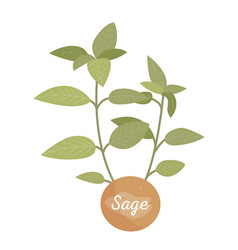 Sage spice herb and label vector