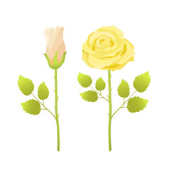 gentle rose flowers open and closed bud in blossom vector image
