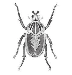 Goliath beetle vintage vector