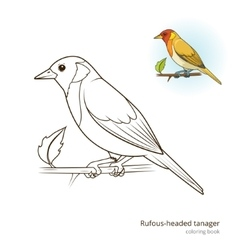 Rufous headed tanager color book vector