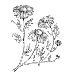 officinalis medical plant engraving style vector image vector image