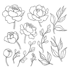 peony flower and leaves line drawing hand vector image