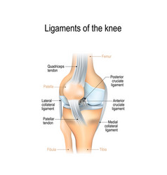 Ligaments of the knee vector