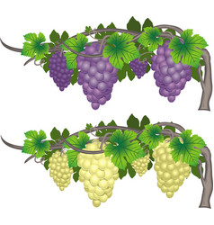 set of clusters of red and white grapes on the vector image