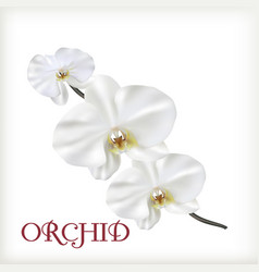 white flowers of orchid vector image