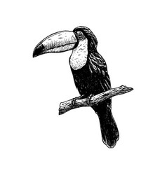 hand drawn toucan sketch of vector image
