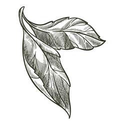 Leaf on branch flora monochrome sketch outline vector