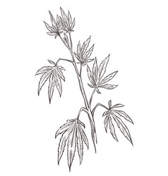 Cannabis plant medical marijuana with leaves vector