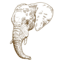 engraving drawing of elephant head vector image