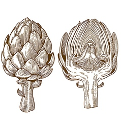 engraving artichoke vector image