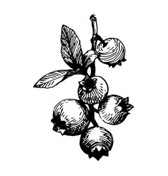 berries black ink drawing vector image