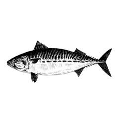 Mackerel fish collection vector