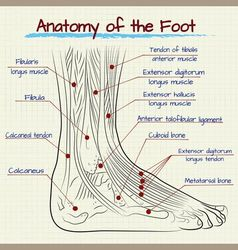 Structure of the human foot vector