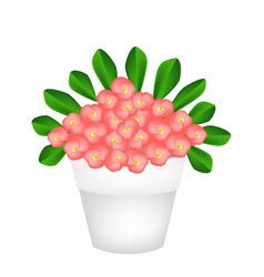 Fresh Crown of Thorns Flowers in Ceramic Pot vector image vector image