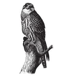 Saker falcon vintage vector